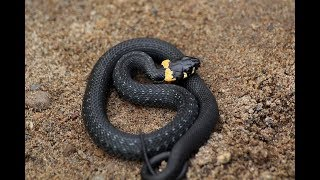 Змея - уж
