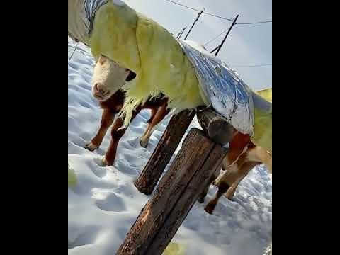 Чьи коровы едят теплотрассу?
