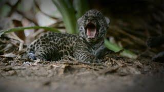Re-Wilding Orphan Jaguar Cubs   Close Encounters   BBC Earth