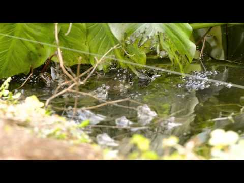 Breeding Common Frogs In My Garden Pond Mp3