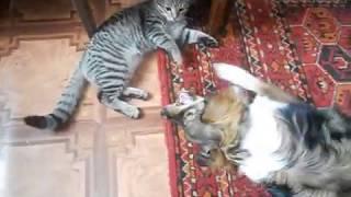 Мося и наша кошка играют, смешно до слёз !