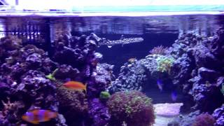 my coral cat shark in my 360g reef tank