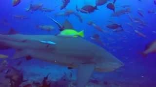 Verdens Bedste Hajdyk I Beqa Lagoon - Fiji