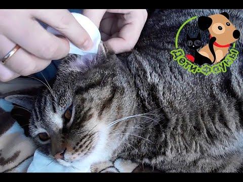 Как чистить уши кошке?