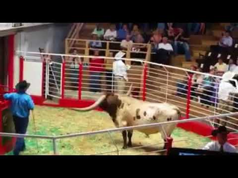 Oklahoma longhorn bull with record horn span sold in Texas