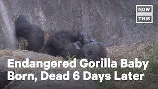 Endangered Western Lowland Gorilla Born in New Orleans | NowThis