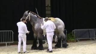 Belgian Draft Horses: Belgian championship for stallions 2017