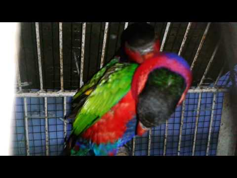 Video Sepasang Nuri Kepala Hitam