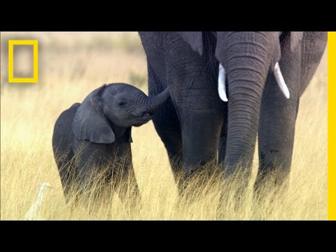 Why Elephants May Go Extinct in Your Lifetime   National Geographic thumbnail