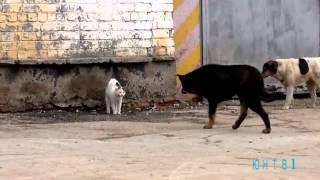 Кошка бойцовой породы.