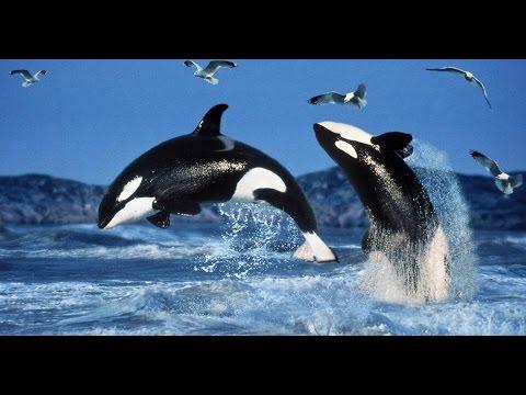 Elegante Mörder - Die Orcas der Antarktis - Tier Doku