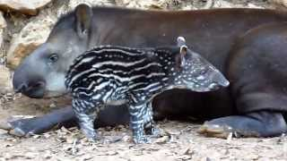 True Facts About The Tapir