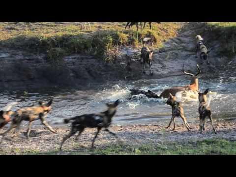 18 Wild dogs vs spotted Hyenas letöltés