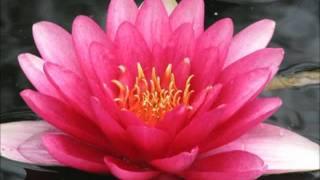Zmelkoow-Lotosov cvet