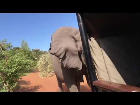 Слон атаковал автомобиль с туристами в Ботсване