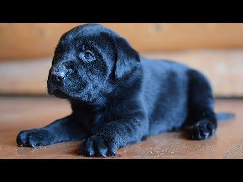 Training Labrador Puppies - YouTube