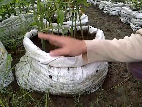 Video Peluang Budidaya Jahe dengan Tekhnologi Vertikultur Polybag atau Karung
