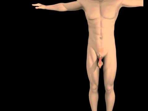 Was sollte die Größe der Prostata in 50 Jahren