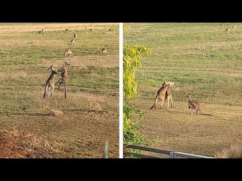 Αυστραλία: Καγκουρό παίζουν μποξ