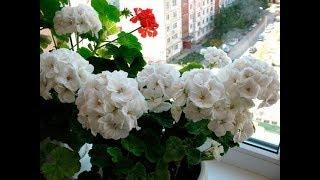 Чем подкормить декабрист для обильного цветения