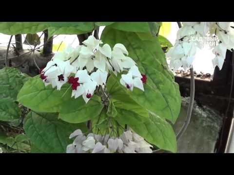 Комнатные растения  Клеродендрон госпожи Томпсон
