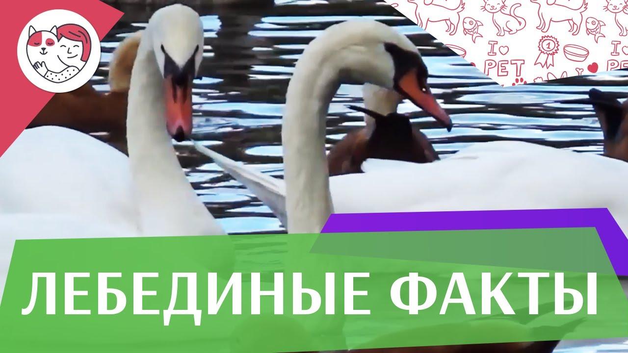 5 необычных фактов о лебедях на ilikepet