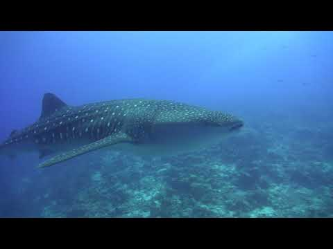 Whale Sharks & Manta Rays Of South Ari Atoll