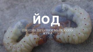 Использование йода в борьбе с личинкой майского жука видео