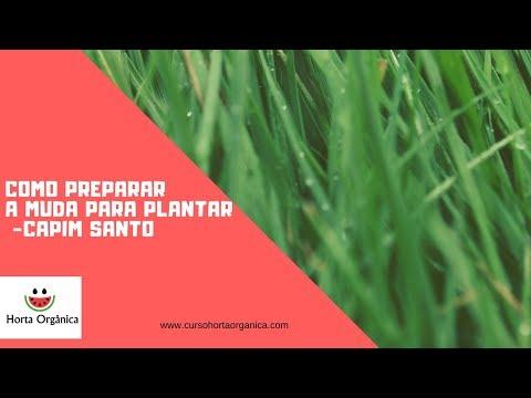 COMO PREPARAR A MUDA PARA PLANTAR- CAPIM SANTO(CIDREIRA)