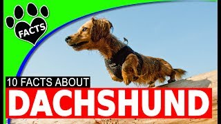 Dogs 101: Dachshund Fun Facts About Your Weiner - Animal Facts