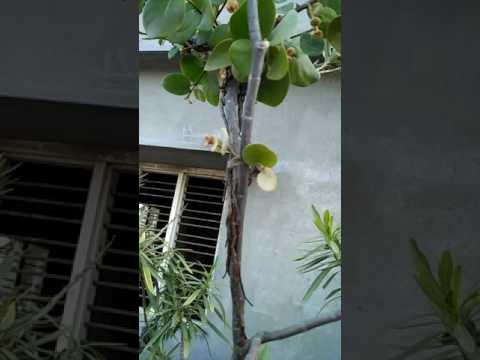 Itim na walnut mula Giardia
