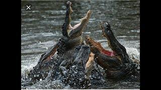 🔴 Аллигаторы обедают 🔴 feeding alligators Orlando Florida USA