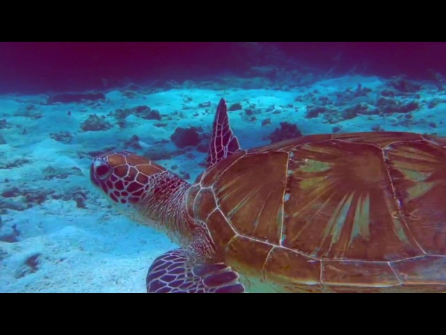 Scuba Diving on the Great Barrier Reef - Diving with turtles, tropical fish and sting rays