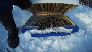 эксперимент продолжается \\ зимовка без утепления \\ пчеловодство с нуля