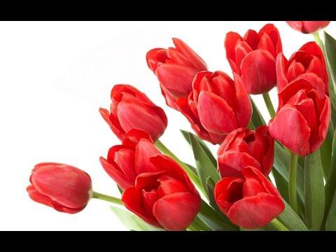 Video LUAR BIASA!!15 Manfaat dan Khasiat Bunga Tulip untuk Kesehatan