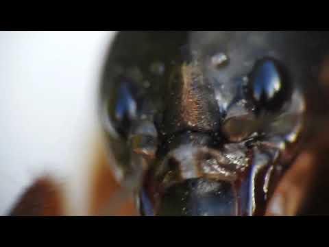 Egy alattomos kártevő: a drótféreg Drotféreg csapda
