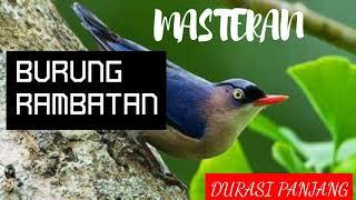 Masteran Burung Rambatan Mp3 | Pancingan Suara Rambatan Masteran Rambatan Gacor Mp3