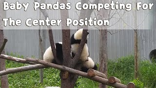 Baby Pandas Competing For The Center Position | iPanda