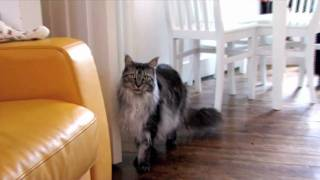 Maine Coon