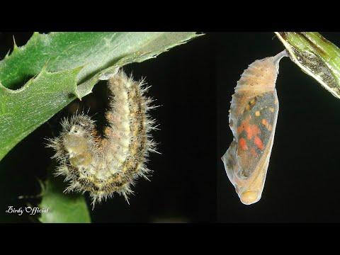Ascaris különbségek a pinwormoktól