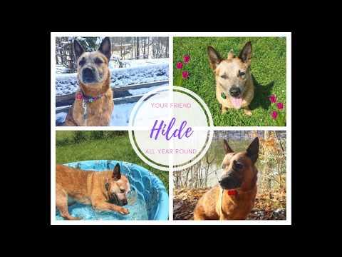 Hilde, an adoptable Australian Cattle Dog / Blue Heeler in Canandaigua, NY