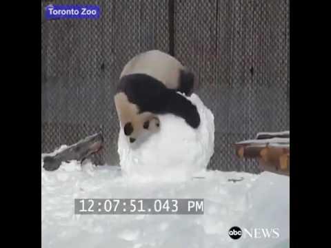 פספסוי חיות: זה מה שקורה כשנותנים לפנדה לשחק בשלג...