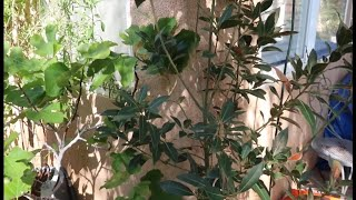 Laura bay Leaf tree Care and Tips