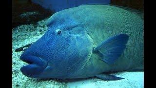 اصطياد سمكة نابليون المهددة بالانقراض وإعادتها إلى البحر في حماطة - البحر الاحمر