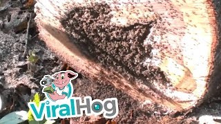 Fire Ant Ball from Hell    ViralHog