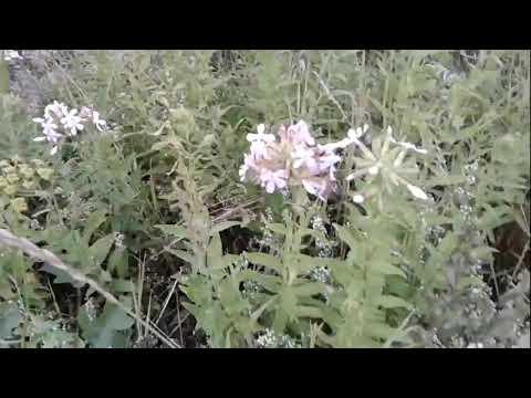 Лекарственное растение мыльнянка. Полезные свойства и противопоказания
