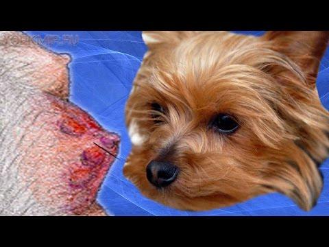 Мастит у собак | Симптомы | Лечение | Профилактика.