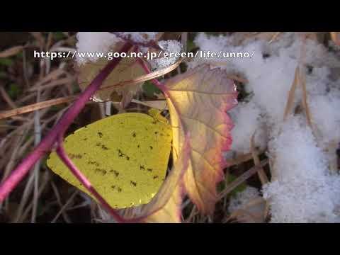 キチョウとキタテハの越冬