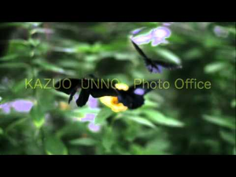 ムモンアケボノアゲハの飛翔