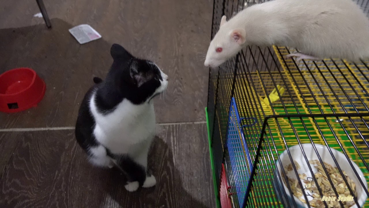 Little kittens now live with rats